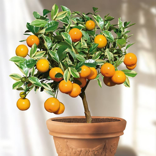 5-fruit-to-grow-in-containers-calamondin