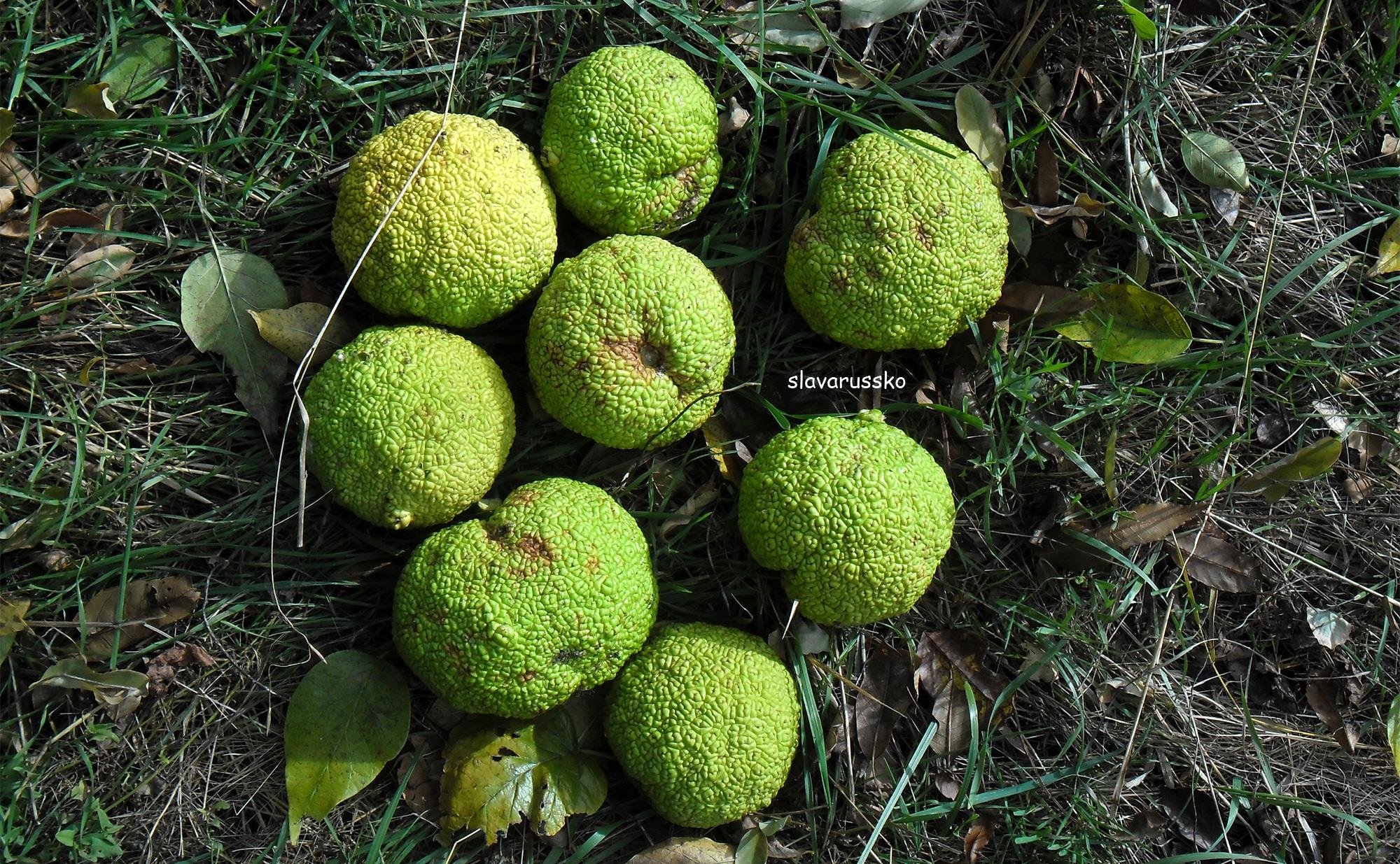 нас собраны дерево адамово яблоко фото фотографию сайт, нажав