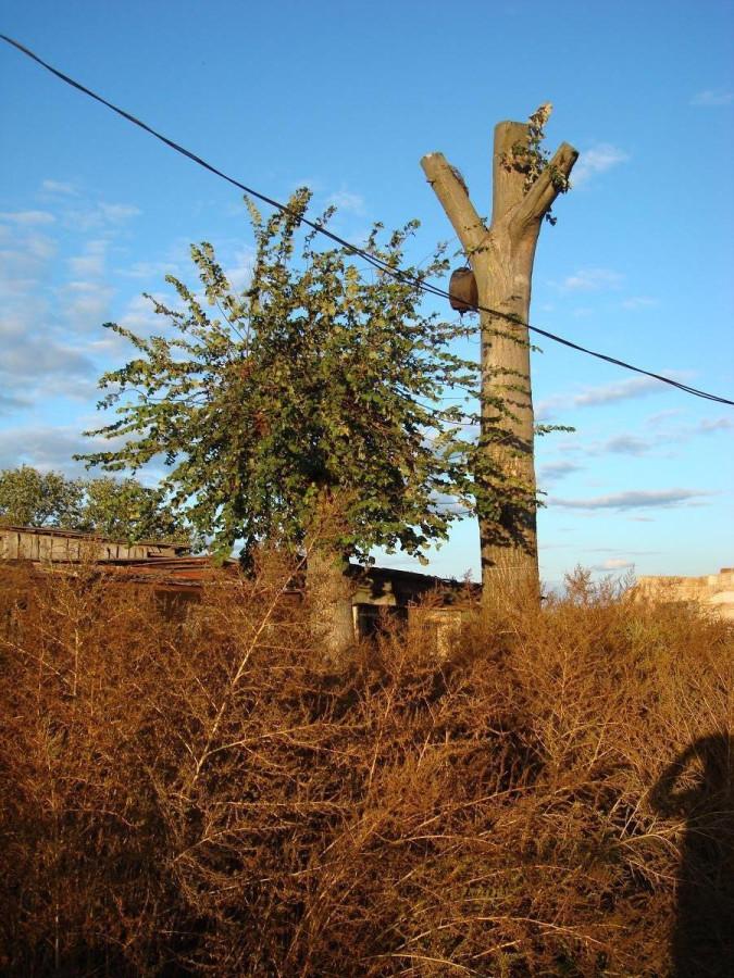Европейское дерево, уже не такое пышное, как летом и дерево под гнездо для аиста. На первом плане - осенняя винчина.