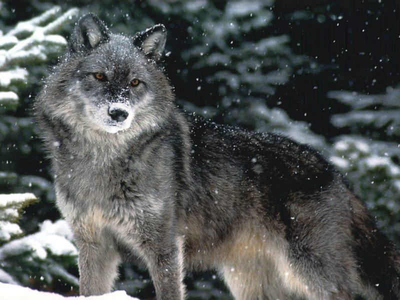 Волки жизнь в стае