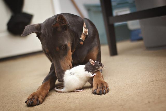 крыса и собака