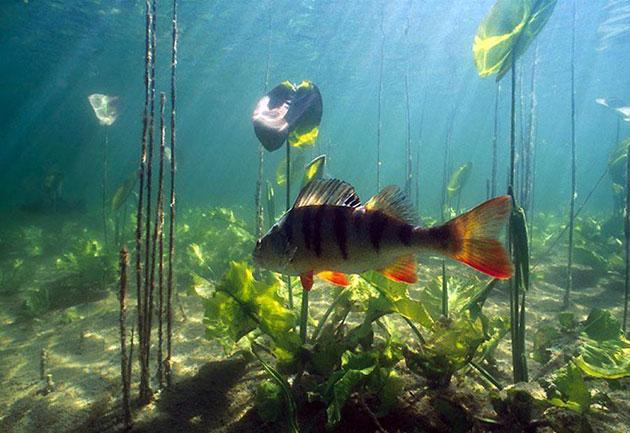 Речной окунь получил распространение практически повсеместно и обитает во многих реках и озерах
