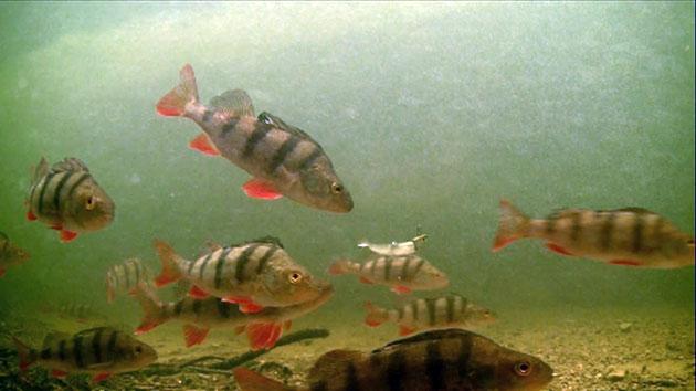 Половозрелым речной окунь становится только по достижении двух- или трехлетнего возраста