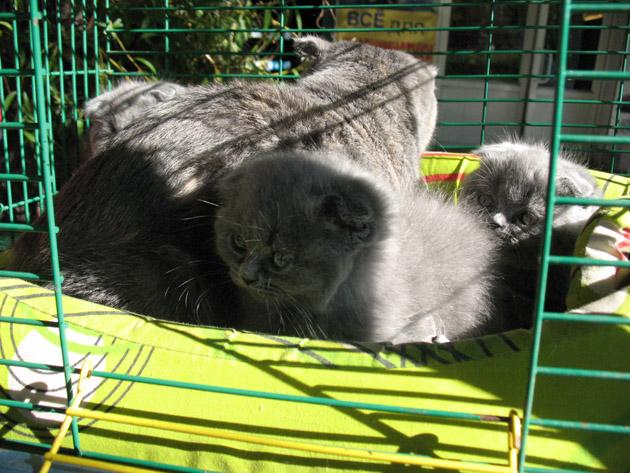 Котенок шотландской вислоухой породы. Птичий рынок в Харькове или харьковская «Птичка»