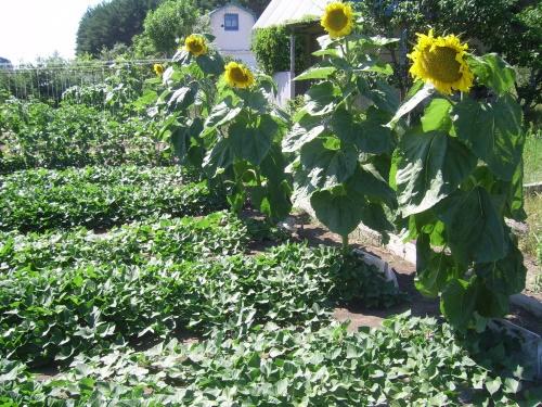 как вырастить подсолнух