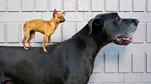 Датский дог очень дружелюбная и скромная собака, несмотря на свои гигантские размеры, которая всегда придет на помощь своему хозяину