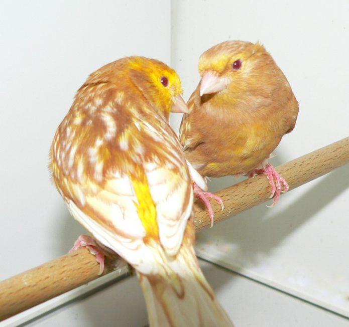 Кенар и канарейка