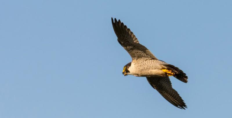Сапсаны – птицы, встречающиеся в большинстве стран Америки, Австралии, Азии, Европы и Африки, за исключением пустыни сахара.