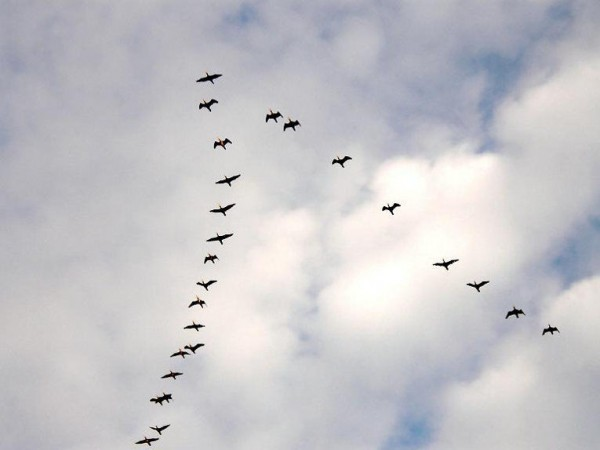 Почему птицы летают клином?