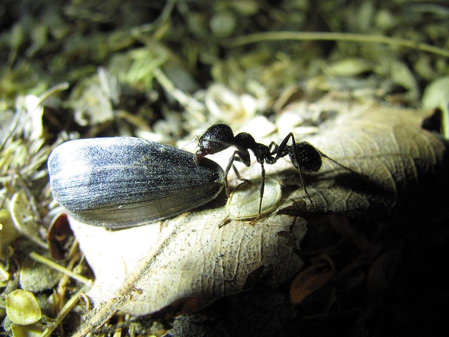 муравей тащит семечку