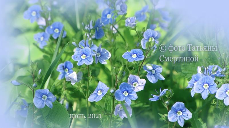 дикие, лесные цветы - 2021июнь.png