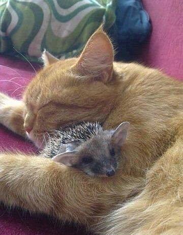 cat-and-hedgehog