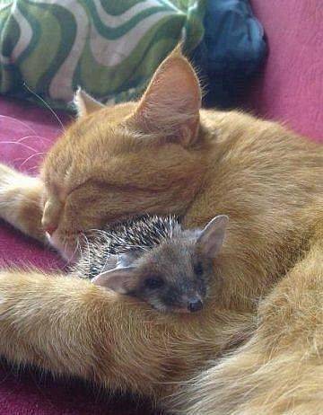 cat-and-hedgehog