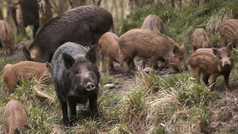 Дикие свиньи пробираются сквозь почву в поисках пищи, в результате чего в атмосферу выбрасываются миллионы тонн углекислого газа.