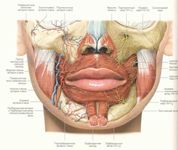 Нижняя губа толще