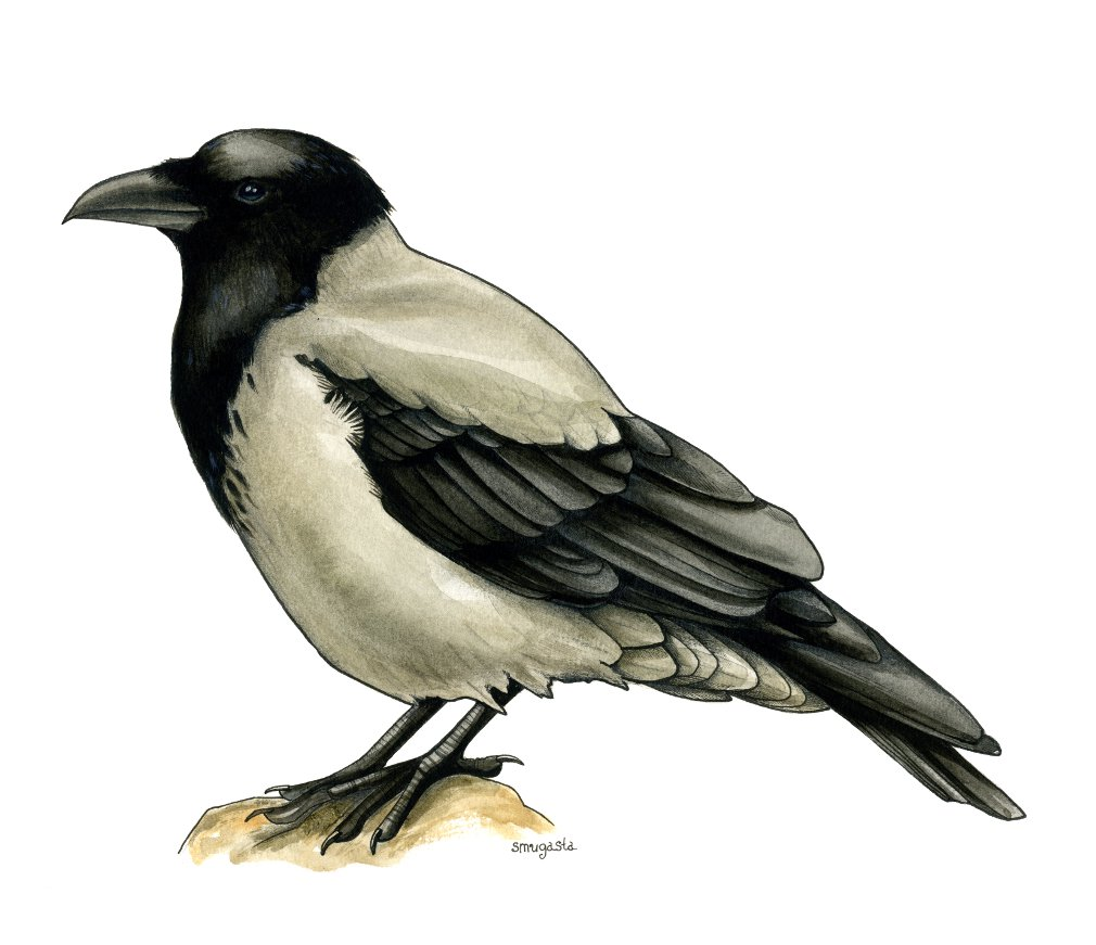 сіра ворона