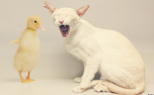 animals-minimalism-cat-duck-Favim.com-464690