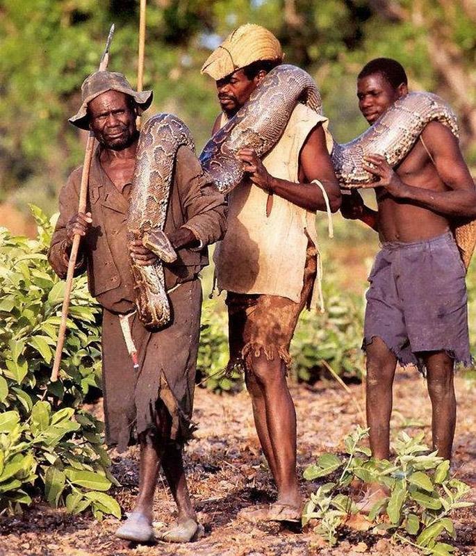 Best 08! Anaconda Hunts  National Geographic