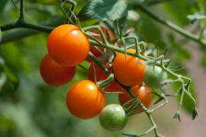 Cherry-tomatoes-are-grown-300x199