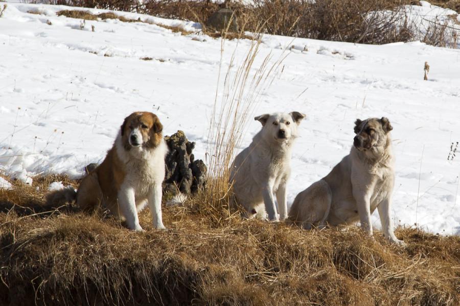 Большие Грузинские Собаки