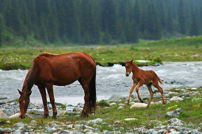 Danfung Dennis-2005July20-Altyn-Arashan-horses