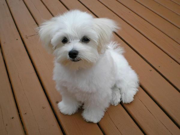 Maltese_puppy.jpeg