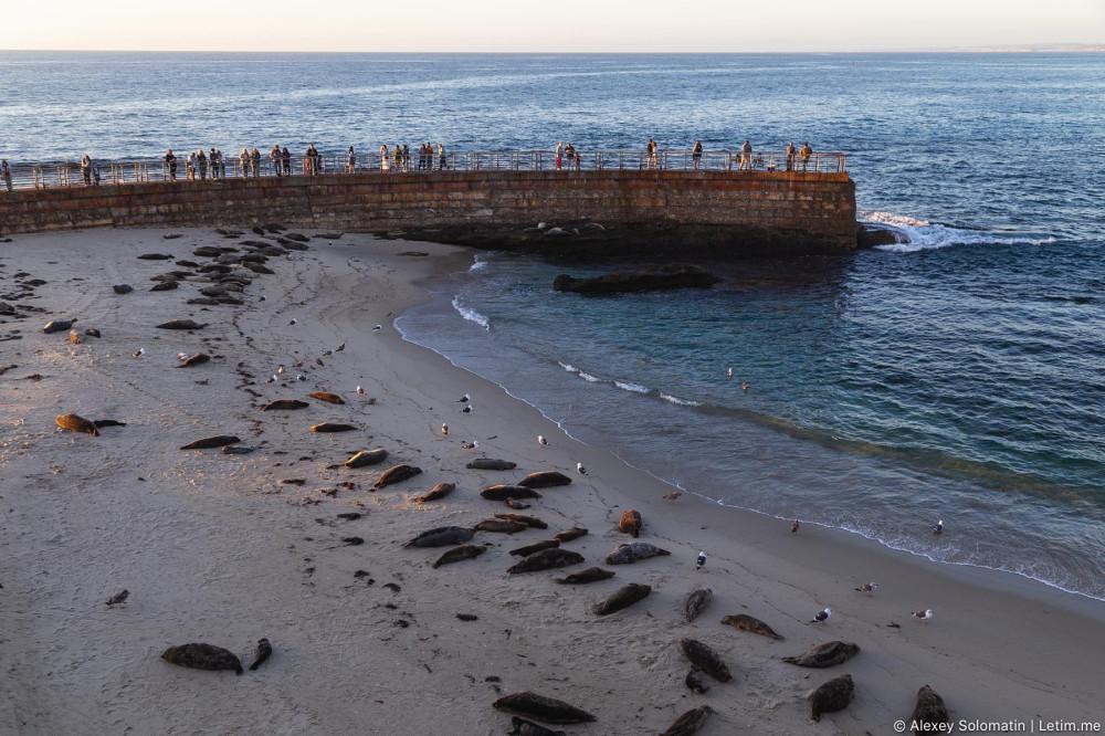 Морские котики на пляже Сан-Диего