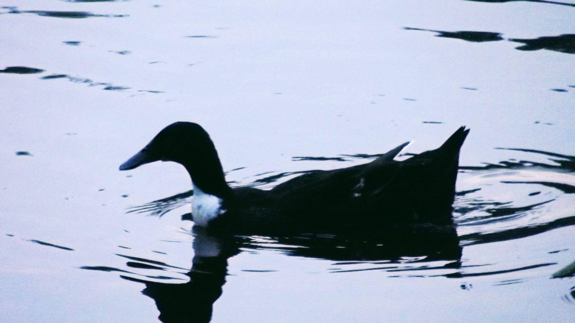 Селезень чёрной кряквы (Anas zonorhyncha)