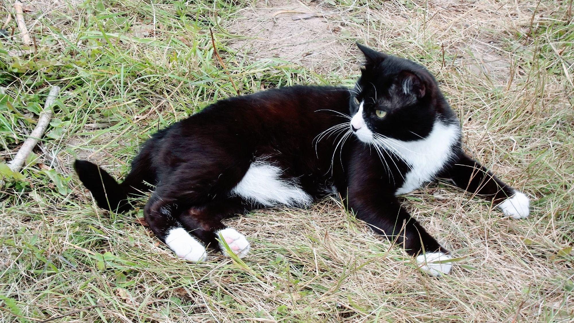 Кот домашний (Felis catus)