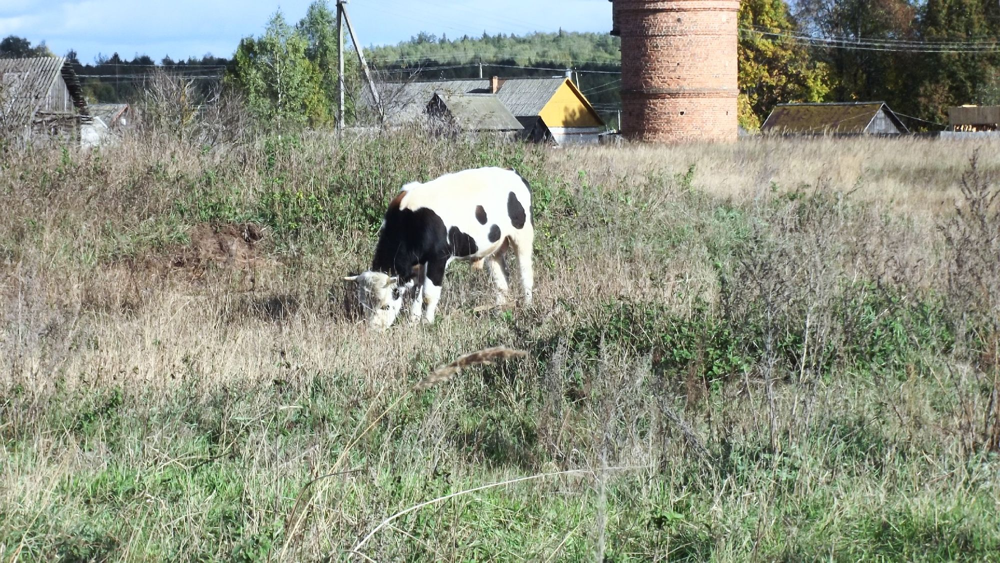 Корова (Bos taurus)