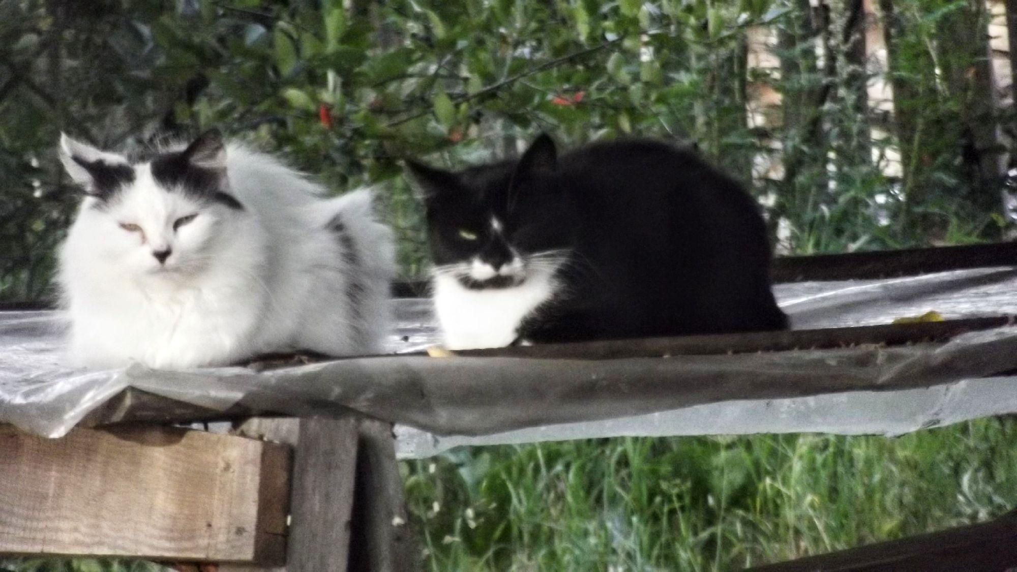 Коты (Felis catus). Белый с чёрным и чёрный с белым