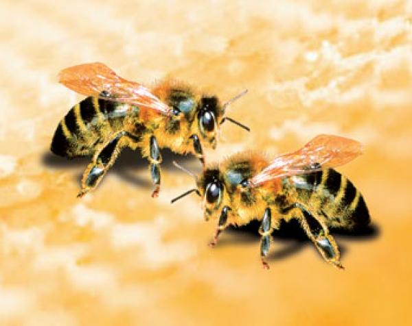 albinele-prezic-vremea