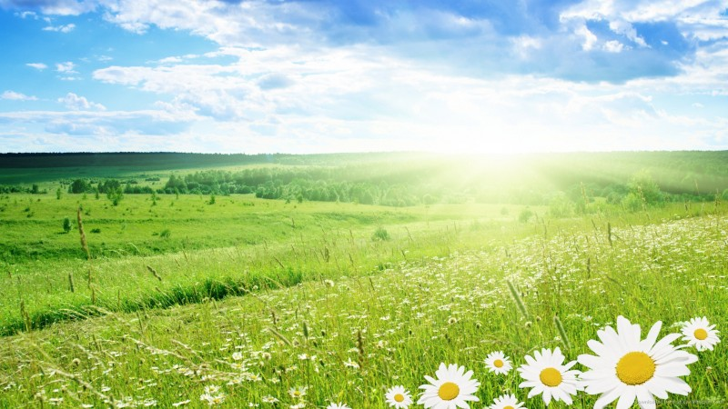 daisy-field-in-summer