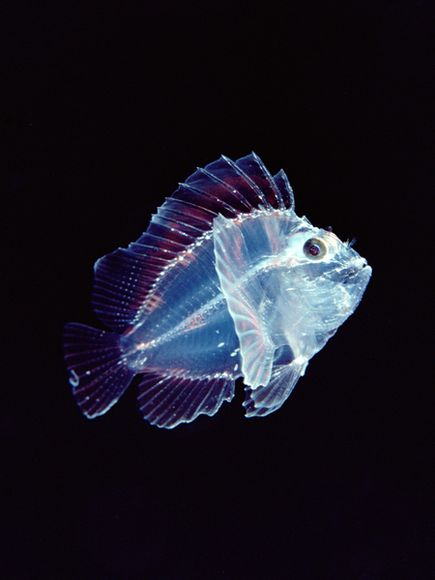 transparent-leaf-scorpionfish