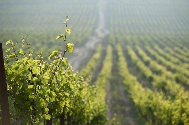 Виноградник в Абрау-Дюрсо