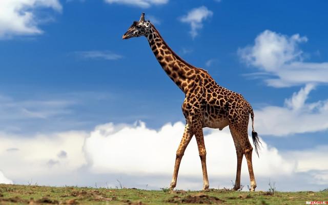 Жираф, ученые плавание