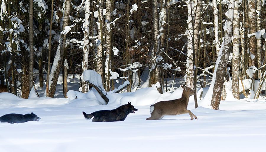 картинка как охотится волк зимой отцом