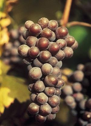Pinot-Gris[1] (2)