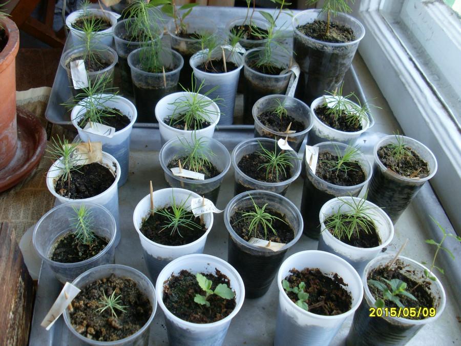 Выращивание рассады ели в домашних условиях 79