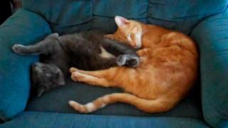 Hiro (Orange Tabby) and Pepper (Gray)