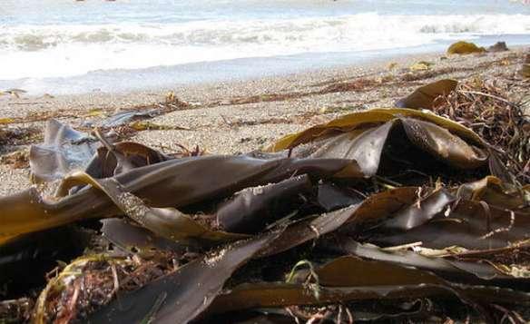 Морская капуста «Ламинария» на берегу после шторма