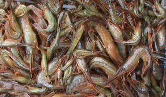 Сахалинская креветка. Источник: РИА «Сахалин-Курилы»