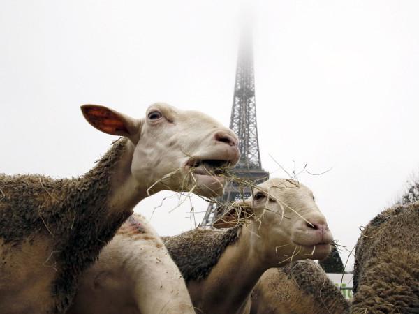 ovcy-v-parizhe-3
