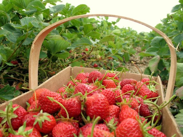 strawberry-picking-basket