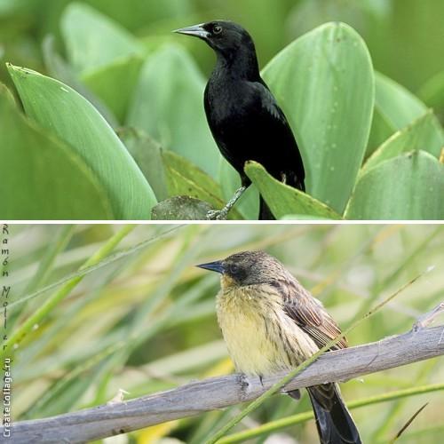 3. Одноцветный чёрный трупиал (самец и самка)