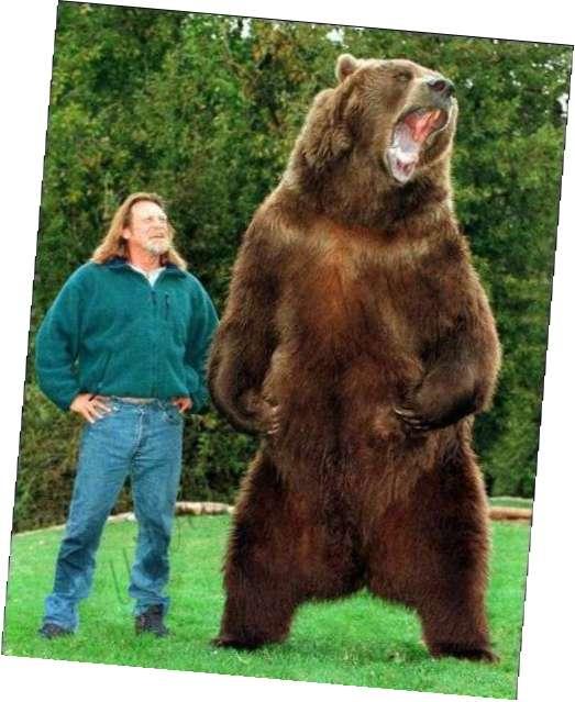 Член медведа