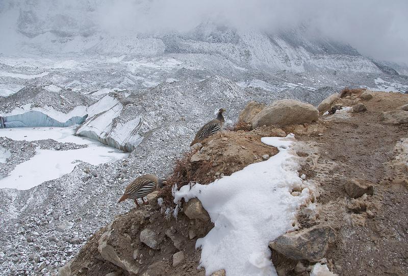 38 - куропатки на леднике