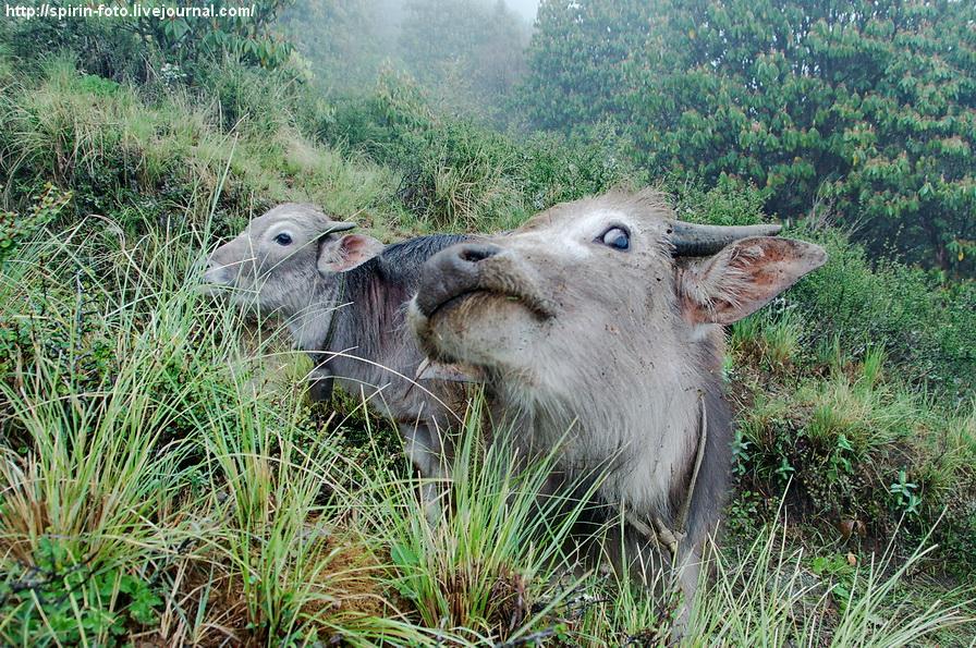 _DSC1251 непальские коровы 900