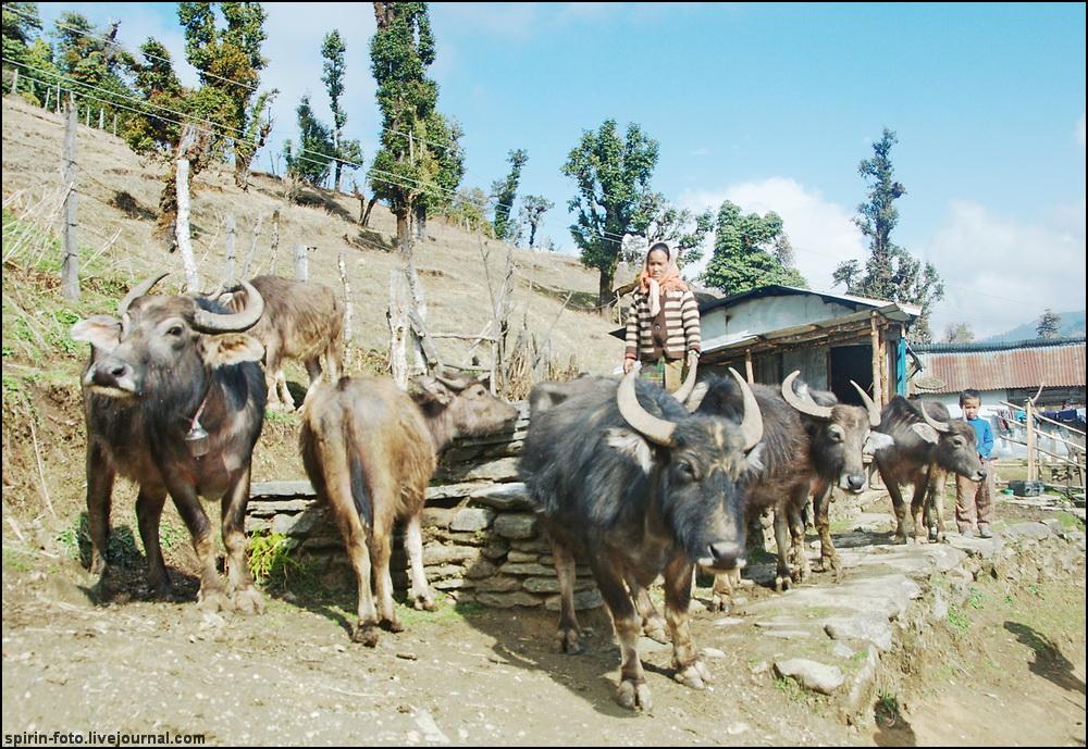 _DSC5468 буйволы