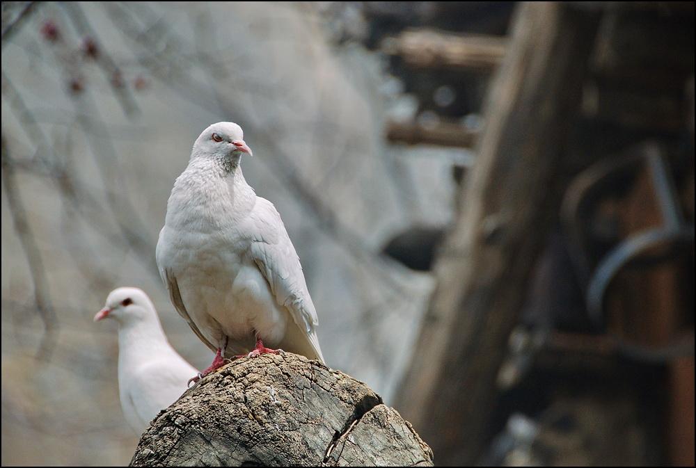 _DSC5782 голуби